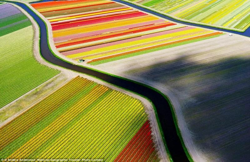 Câmpurile de lalele din Olanda
