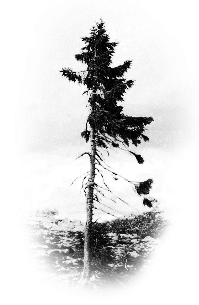 cel mai batran copac din lume suedia (1)