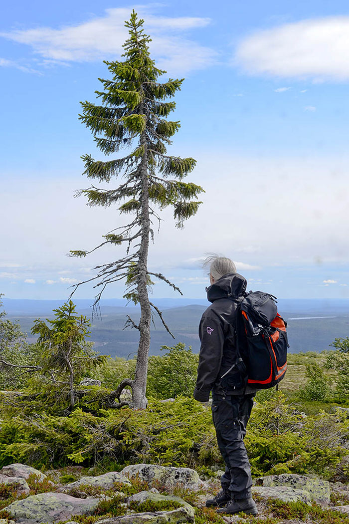 cel mai batran copac din lume suedia (2)