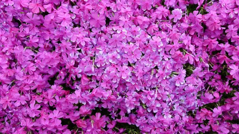 Kuroki planteaza mii de flori pt sotia oarba (6)