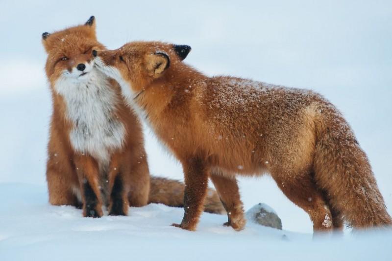 sarutul animalelor (5)