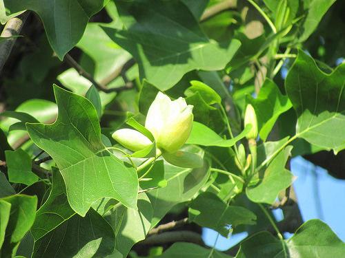 lalele in copac (3)