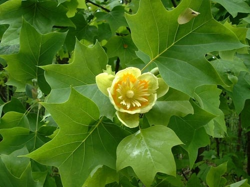 lalele in copac (4)