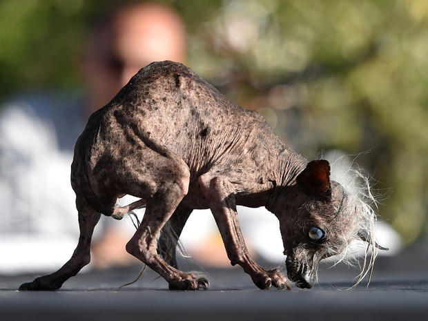 Sweepee Rambo, a Chinese Crested, is presented to judges during the World's Ugliest Dog Competition in Petaluma, California on June 26, 2015. Quasi Modo went on to win first prize as the ugliest dog in the competition. AFP PHOTO/JOSH EDELSON (Photo credit should read Josh Edelson/AFP/Getty Images)