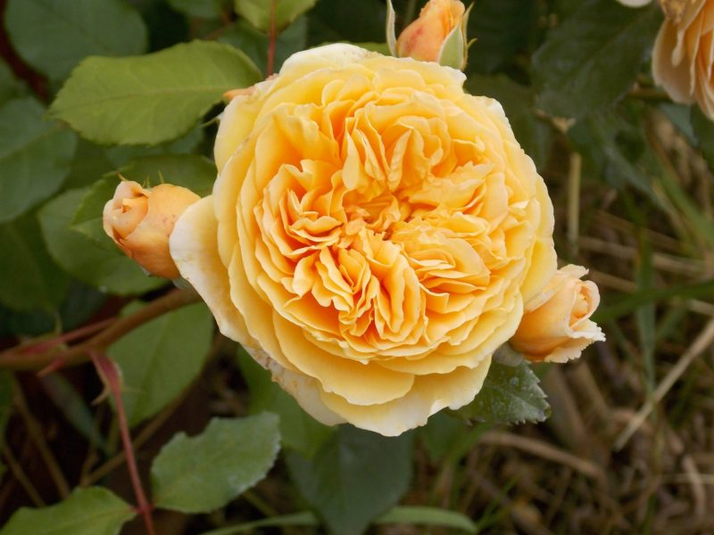 sarbatoarea trandafirilor Mandruloc (1)