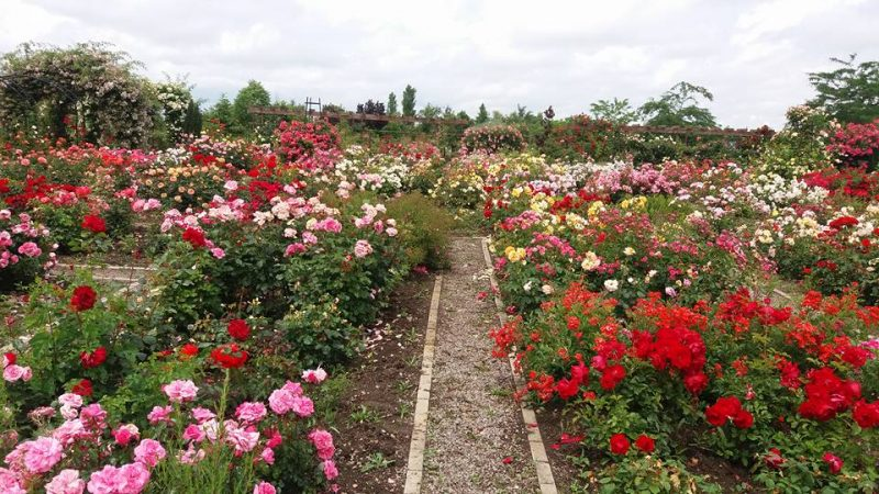 sarbatoarea trandafirilor Mandruloc (13)