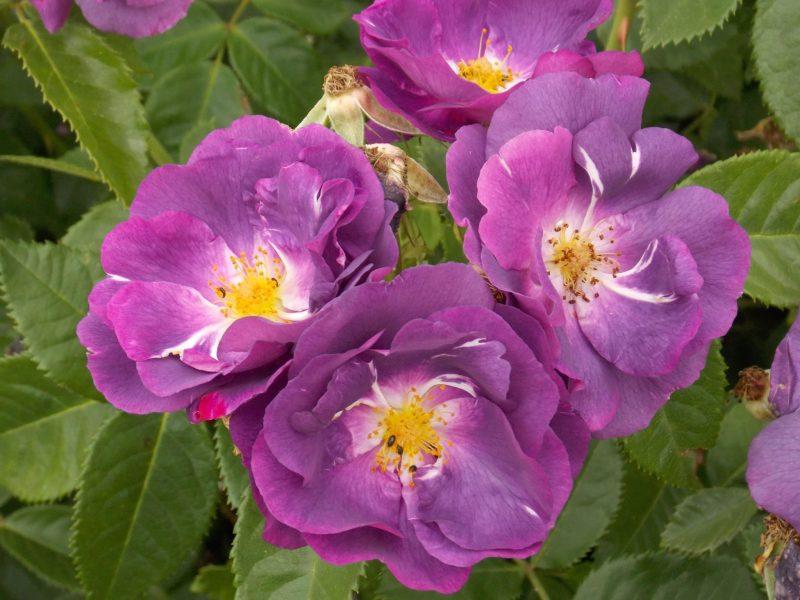 sarbatoarea trandafirilor Mandruloc (4)