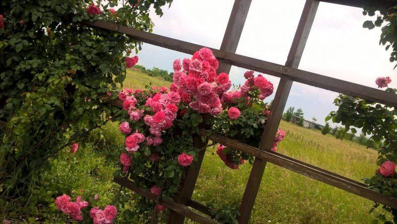 sarbatoarea trandafirilor Mandruloc (5)