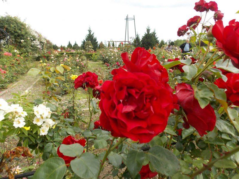 sarbatoarea trandafirilor Mandruloc (8)