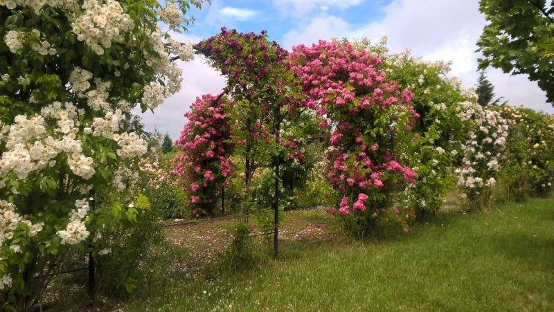 sarbatoarea trandafirilor Mandruloc (9)