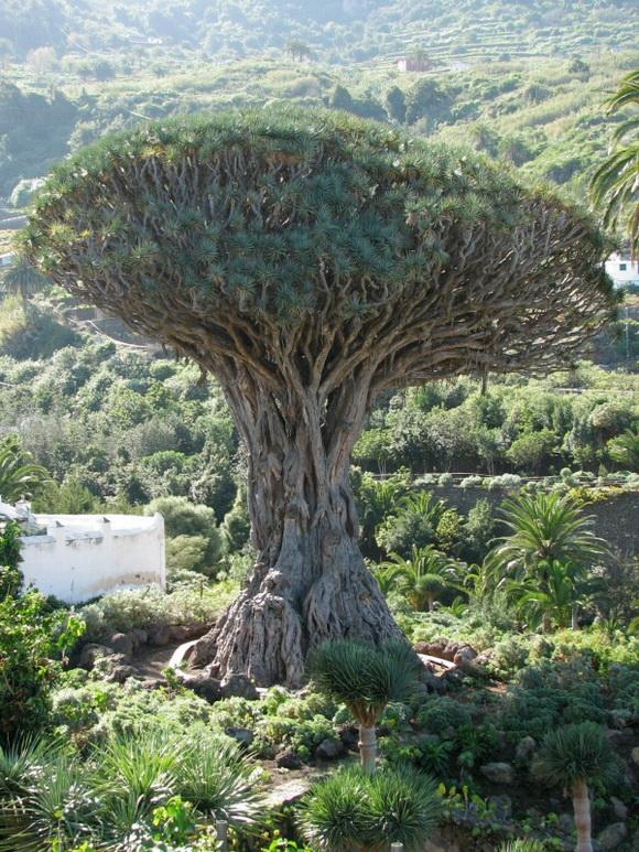 copaci faimosi (13)