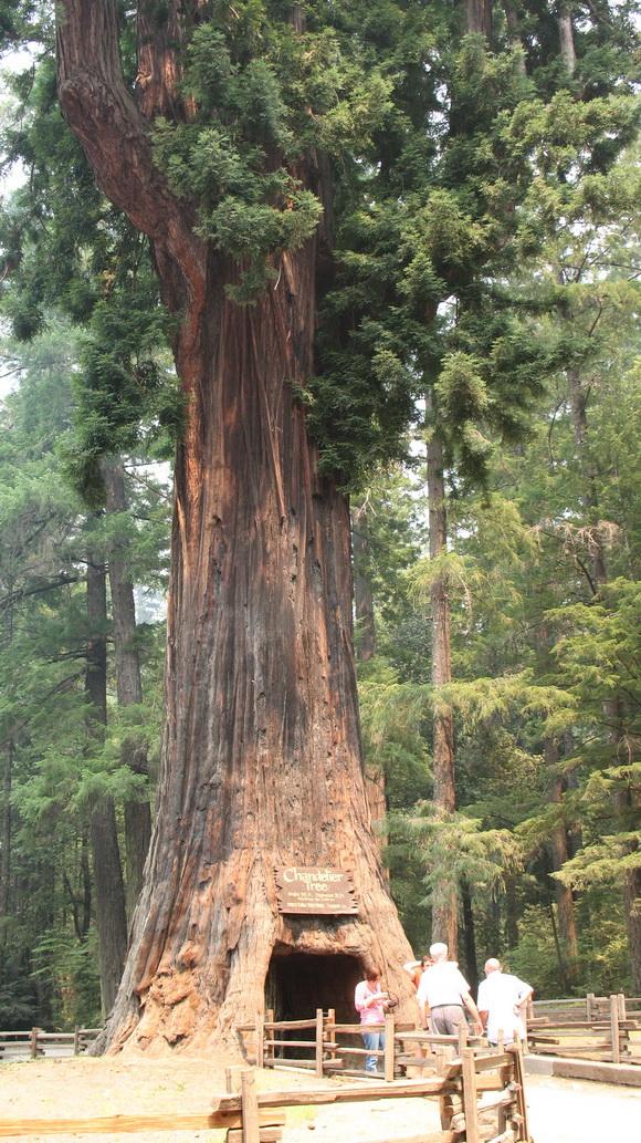 copaci faimosi (4)