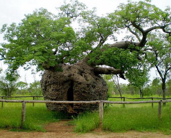 copaci faimosi (5)