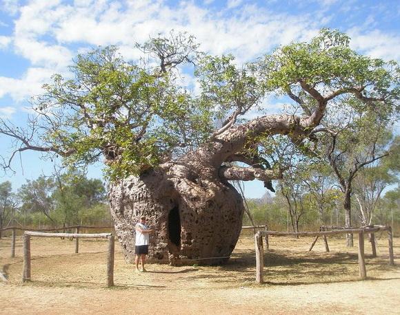 copaci faimosi (9)