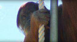 Cel mai bătrân urangutan care trăieşte în captivitate şi-a serbat, ieri, ziua de naştere – VIDEO