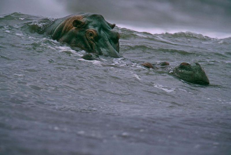 hipopotami-facand-surf