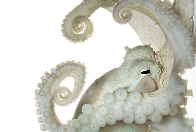 octopus_adapt_1900_1