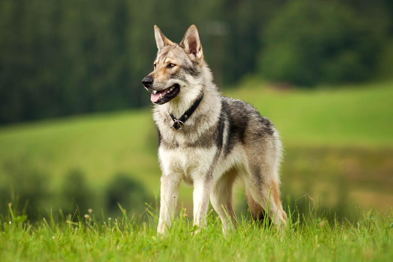 Tamaskan Dog For Sale Uk